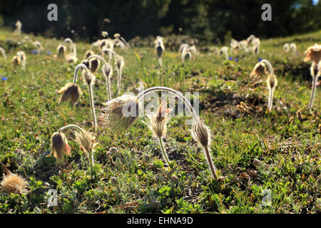 Spring Pasque Flower (Pulsatilla vernalis), Seiser Alm / Alpe di Siusi - Stock Image