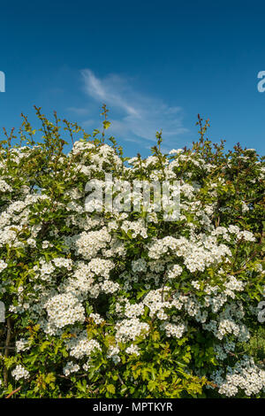 A common Hawthorn (Crataegus monogyna) hedge in full flower in bright sunshine with a deep blue sky background and copy space - Stock Image