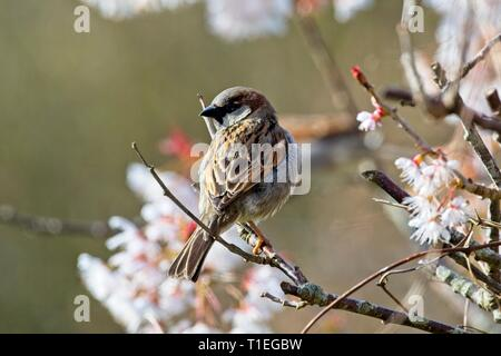 Hailsham, UK. 26th Mar, 2019. UK weather. A House sparrow (Passer domesticus) perches among Cherry blossom this morning in Hailsham, East Sussex, UK. Credit: Ed Brown/Alamy Live News - Stock Image