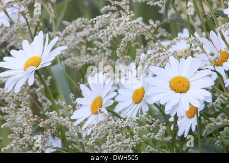 Oxeye daisies (Leucanthemum vulgare) blooming in a meadow in spring. - Stock Image