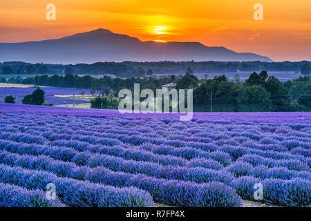 Lavendelfeld bei Sault, Mount Venteaux, Frankreich - Stock Image