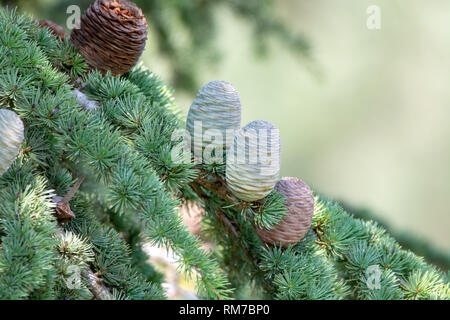 Himalayan cedar or deodar cedar tree with female and male cones, Christmas background close up - Stock Image