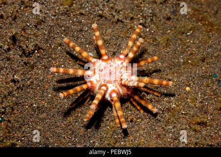 Ten Lined Sea Urchin, or Hidden Sea Urchin, Eucidaris metularia.Tulamben, Bali, Indonesia. Bali Sea, Indian Ocean - Stock Image