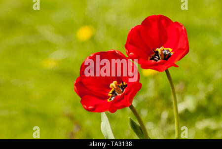 two bright red tulips outdoor on sunny summer day closeup - Stock Image