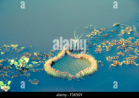 Immature Water Lily Pad, Giant Water Lily, Victoria Amazonica, formerly called Victoria Regia, Panantal, Mato Grosso, - Stock Image