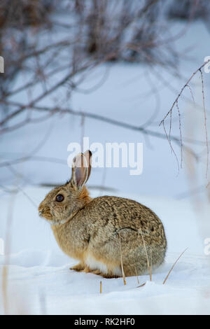 Mountain or Nuttall's Cottontail rabbit (Sylvilagus nuttalli) in winter snow, Castle Rock Colorado US. Photo taken in January. - Stock Image