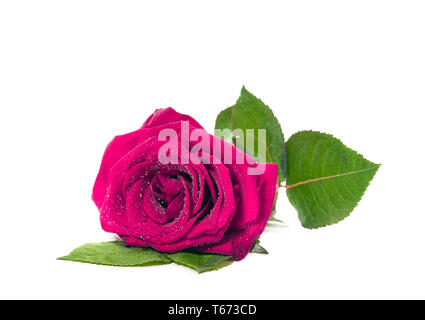 The fresh red pink rose with dew drops isolated on white background. Sutible for mothers Day, Valentines or birthday - Stock Image