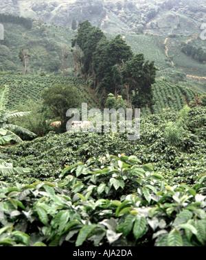 Coffee Plantation, Costa Rica - Stock Image