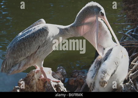 This is how a baby pelican has breakfast! These Pink-backed Pelicans were captured, in the morning! - Stock Image