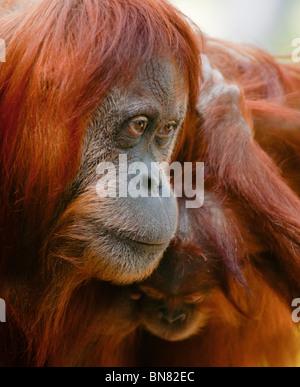 Orangutan (Pongo pygmaeus) Mother with her baby. - Stock Image