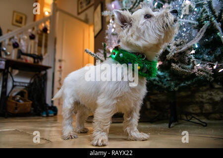 A west highland terrier in Christmas a collar by a Christmas tree on Christmas day - Stock Image