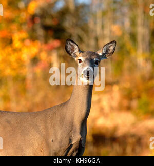 A curious white-tailed deer in autumn near Sussex, Kings County, New Brunswick, Canada. - Stock Image