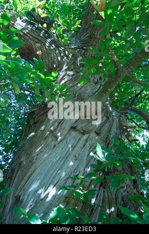 Sweet Chestnut, Castanea sativa, twisted bark on trunk, Sussex, UK, October. - Stock Image