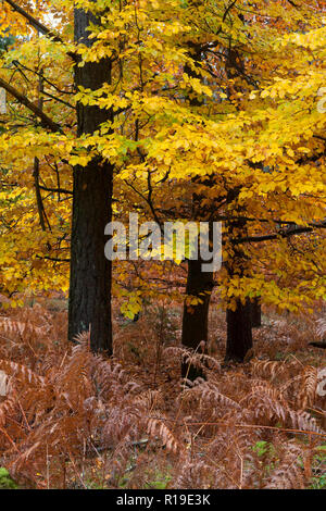 autumnal beech & bracken turning colour in Crooksbury woods on the road between Elstead & Seale, near Farnham & Godalming, Surrey, England - Stock Image