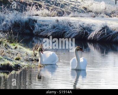 Frosty swans - Stock Image