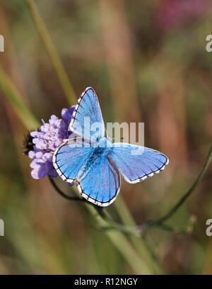Adonis Blue male on scabious. Denbies Hillside, Ranmore Common, Surrey, England. - Stock Image