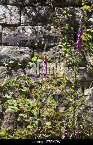 Foxgloves growing out o the limestone blocks of a lime kiln by the junction of the River Churnet and Caldon Canal - Stock Image