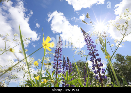 Lupines and buttercup flowers (Ranunculus) blooming in a meadow in spring. - Stock Image