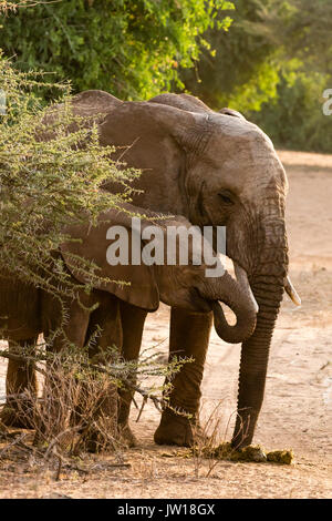 African Elephant (Loxodonta africana) baby and sister eating the poo of their mother to get the needed digestive enzyme - Stock Image