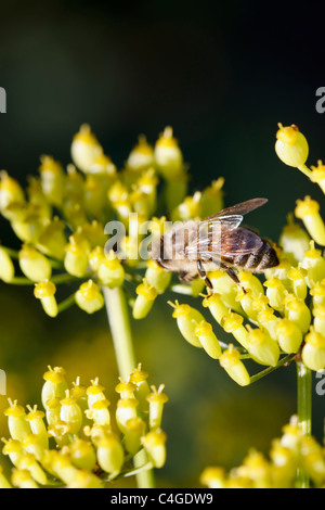 Selective focus image of a blooming Parsnip (Pastinaca sativa) with a bee. - Stock Image