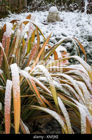 Mature variegated Phormium Jester Flax evergreen plant in winter snow conditions, England, UK - Stock Image