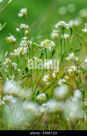 Draba verna, Erophila verna, spring draba, shadflower, nailwort, common whitlowgrass, whitlow-grass, early witlow - Stock Image