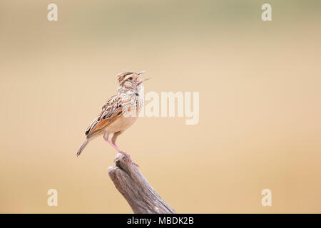Crested Lark, Galerida cristata, singing whilst perched on the tip of a dead branch - Stock Image