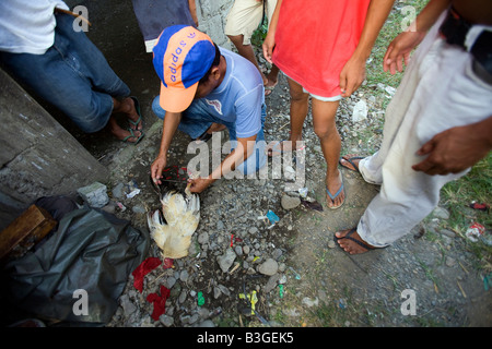 A Filipino removes the blade from dead fighting cock's leg at a cockhouse near Mansalay, Oriental Mindoro, Philippines. - Stock Image