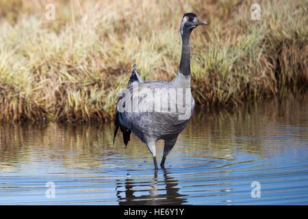 Crane, Grus grus, Kranich, Hornborga, Sweden, crane wading through water - Stock Image