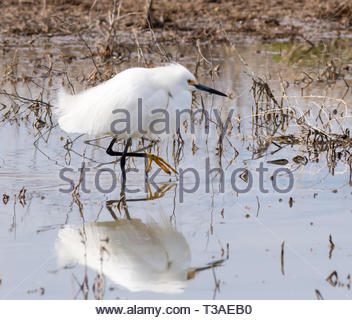 Snowy Egret, Egretta thula, walking with reflection in shallow pond in Arizona USA - Stock Image