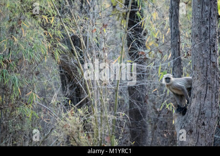 One solitary Hanuman or Gray Langur, Semnopithecus, peeking cautiously out from a tree in the Bandhavgarh Tiger - Stock Image