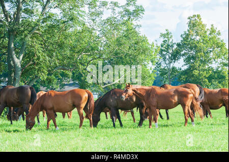 Thoroughbred horses on a horse farm in Kentucky - Stock Image