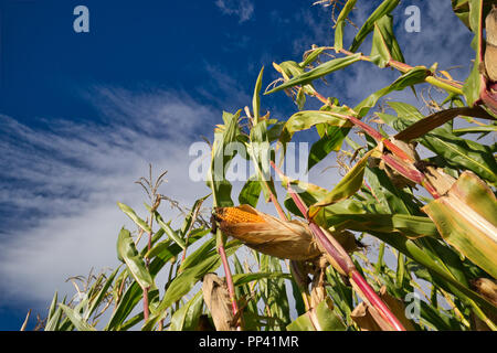 Corn in the late summer - Stock Image