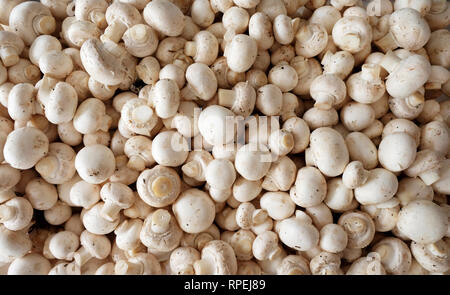 Around one hundred raw button mushrooms piled on top of each other, overhead view point looking down onto mushrooms - Stock Image