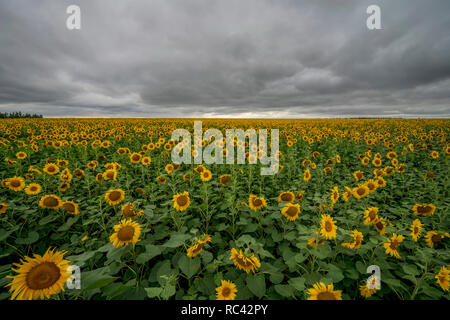 Sunflower field during the storm. - Stock Image