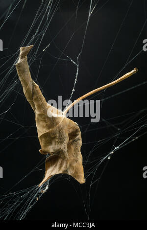 Curled leaf suspended by web against a black background - Stock Image
