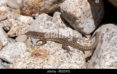Iberian wall lizard, Podarcis hispanica, on a rock. Photo taken next to the Minchones Stream, in the region of La Vera, Caceres, Extremadura, Spain - Stock Image