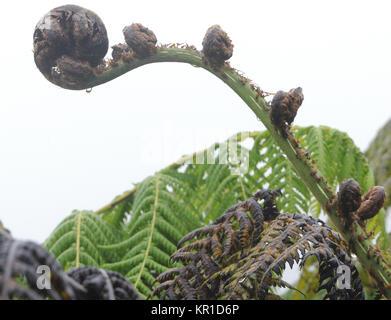 endemic Galápagos tree fern (Cyathea weatherbyana). Sierra Negra, Isabela, Galapagos, Ecuador. - Stock Image