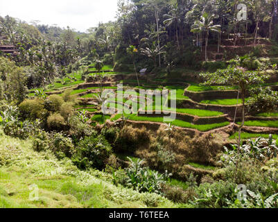 Drone aerial view of the Tegallalang Rice Terraces in Ubud, Bali, Indonesia - Stock Image