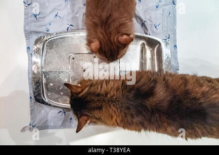 Two Munchkin cats lick a carving plate clean after dinner - Stock Image