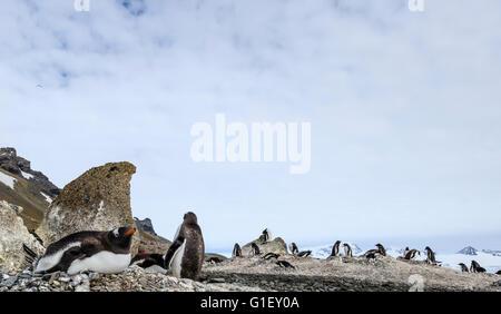 Colony of Gentoo penguins (Pygoscelis papua) Brown Bluff Antarctic Peninsula Antarctica - Stock Image