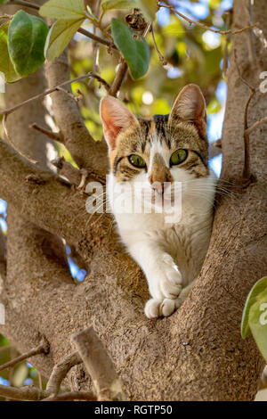 Low angle view of white and tabby cat in a tree - Stock Image