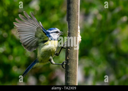 Bluetit (Cyanistes caeruleus) garden bird in flight towards suet feeder - Stock Image