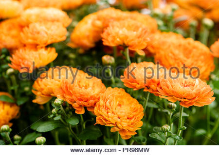 Chrysanthemum garden plant with orange flowers, UK. - Stock Image