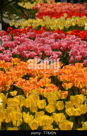 iridescent blooming tulips in the midday sun, endless field of tulips in different bright colors in spring - Stock Image