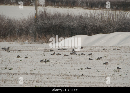 Flock of Wood-pigeons (Columba palumbus) feeding on old snow-covered stubble during winter in Britain - Stock Image