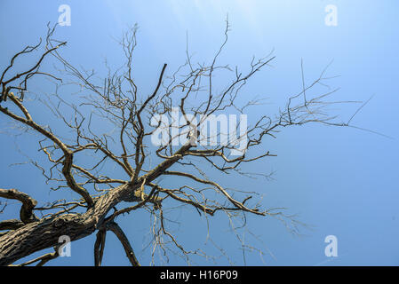 Dead tree and branches set against a blue summer sky - Stock Image