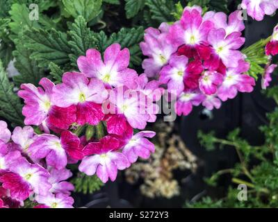 Verbena Wicked mad magenta flowers - Stock Image