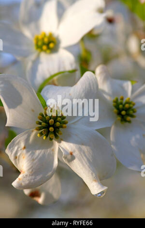 Close up of white dogwood tree flowers in dappled sunlight on a day in early spring - Stock Image