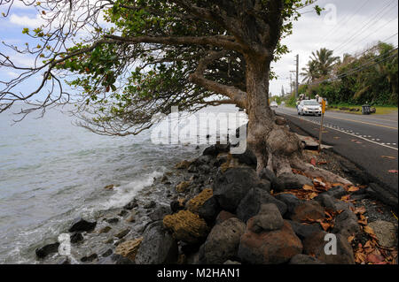 Tree clinging to sea wall preventing erosion on Kamehameha Highway, near Ka'a'awa, Oahu, Hawaii, USA - Stock Image